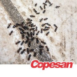 Black ants going into a sidewalk crack.