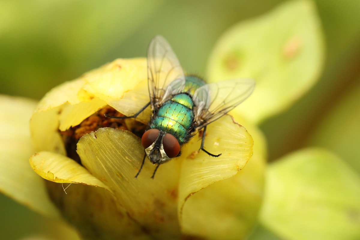 close up image of green fly