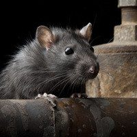 Rat climbing over a rusty pipe.