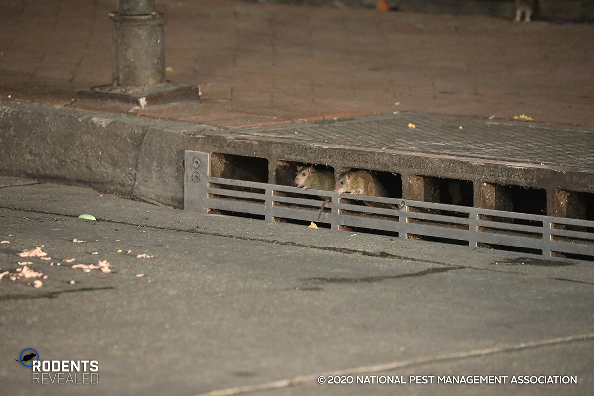 rodents in street sewer