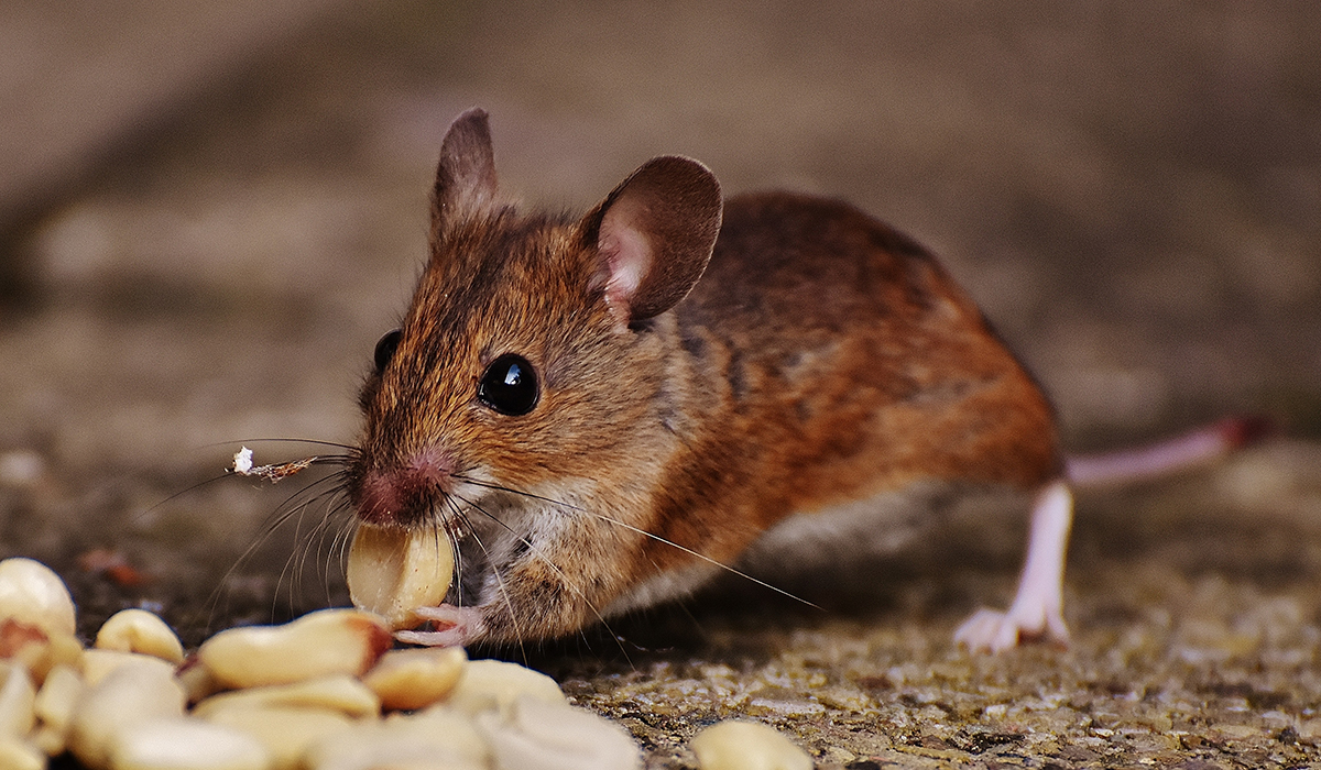 brown rodent eating nuts