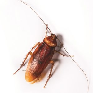 commercial cockroach control