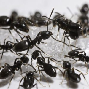 Swarm of black odorous house ants.