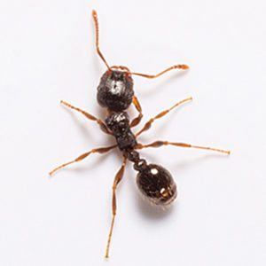 pavement ant control