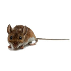 commercial deer mouse control