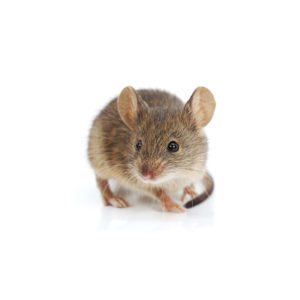 House Mouse on white background.