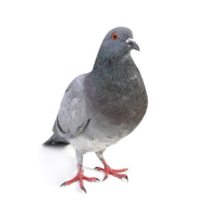 Gray pigeon on white background.