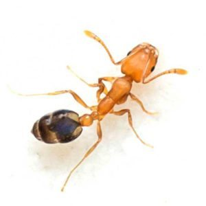 pharaoh ant control