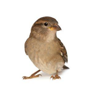 commercial house sparrow management