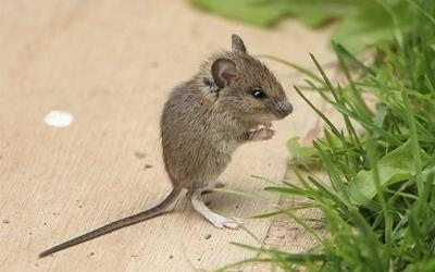 Mouse standing on hind legs.