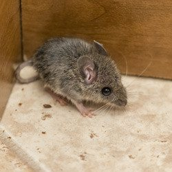 Mouse in the corner of a restaurant floor.