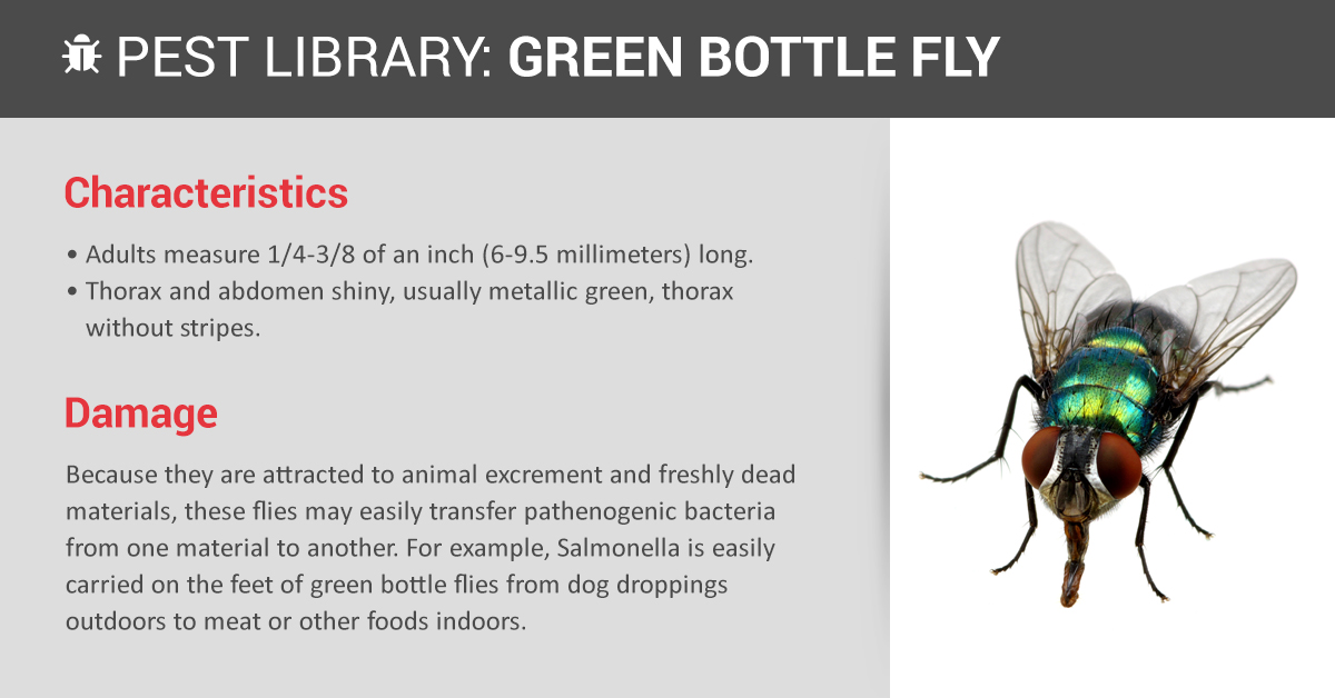 Copesan Pest Library Green Bottle Fly - How To Get Rid Of Common Green Bottle Fly