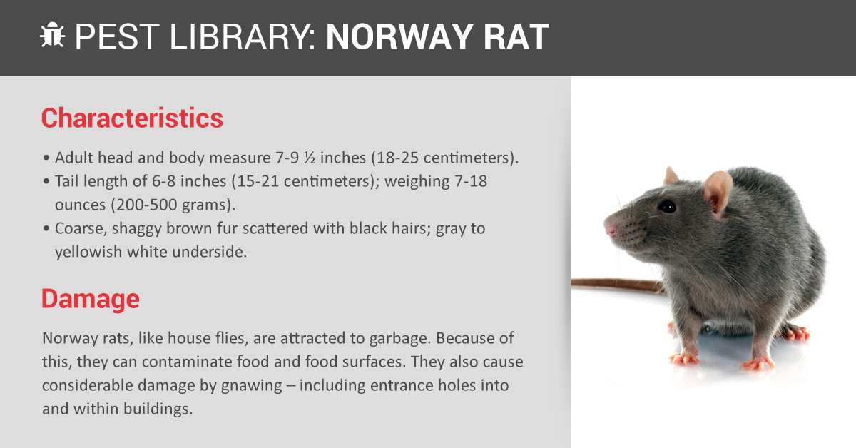 Norway Rat Control Identification Copesan Pest Library