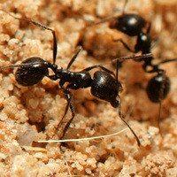 Two black ants walking on sand.