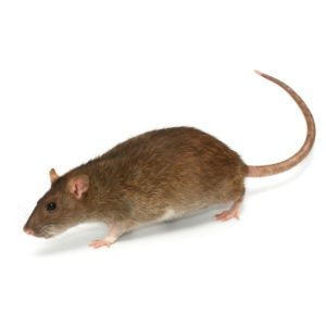 Norway Rat on white background.