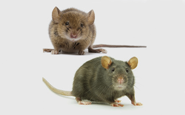 A mouse and a rat.