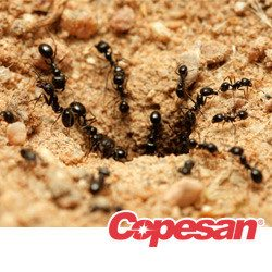 Colony of black ants going into an ant mound.