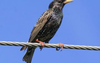 Starling perched on a wire.