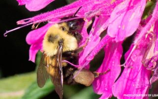 Bee eating the nectar out of a bright pink flower.