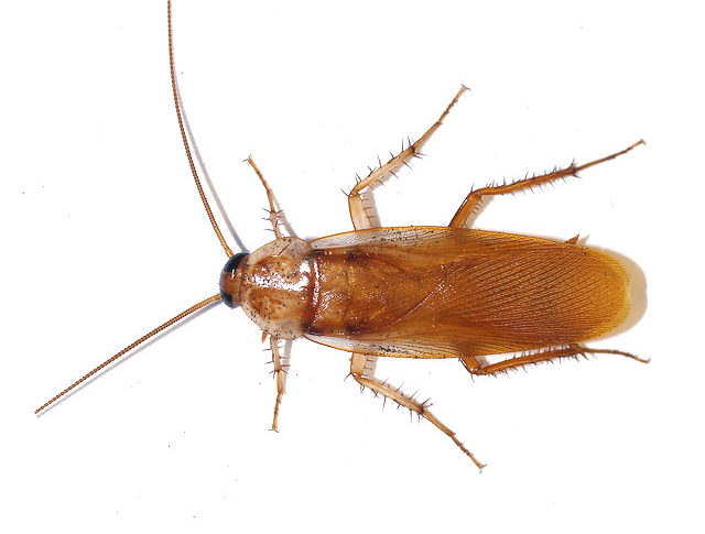 Turkestan Cockroach on a white background.