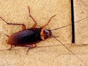 American Cockroach on concrete.