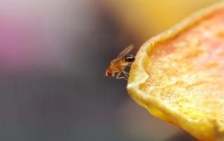 Fruit fly on a piece of fruit.