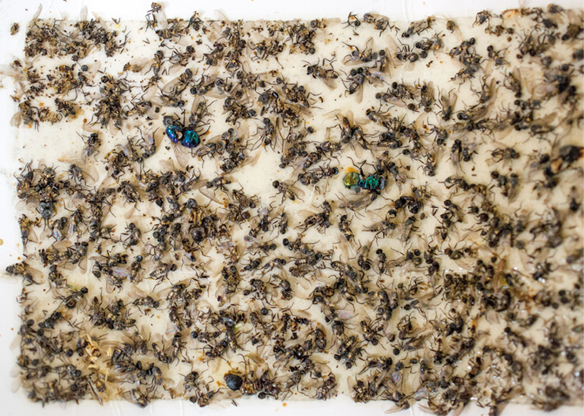 Ants and flies stuck to a glue board.