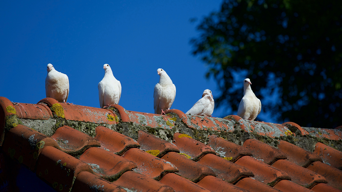 Five pigeons sitting on top of a clay roof.