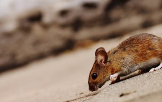 Brown mouse on concrete.