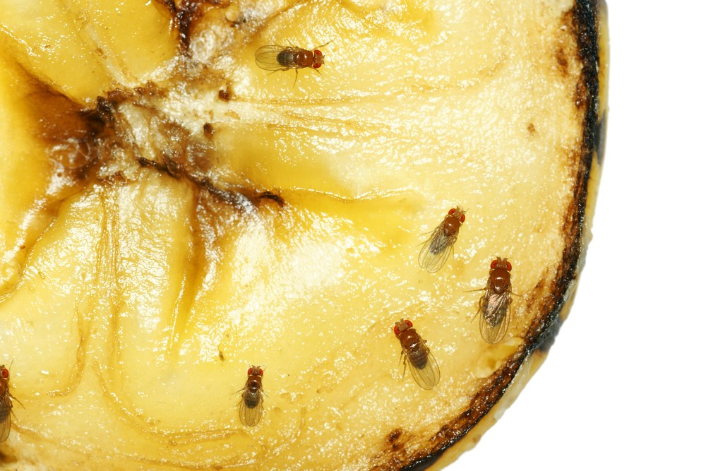Fruit flies on a piece of yellow fruit.