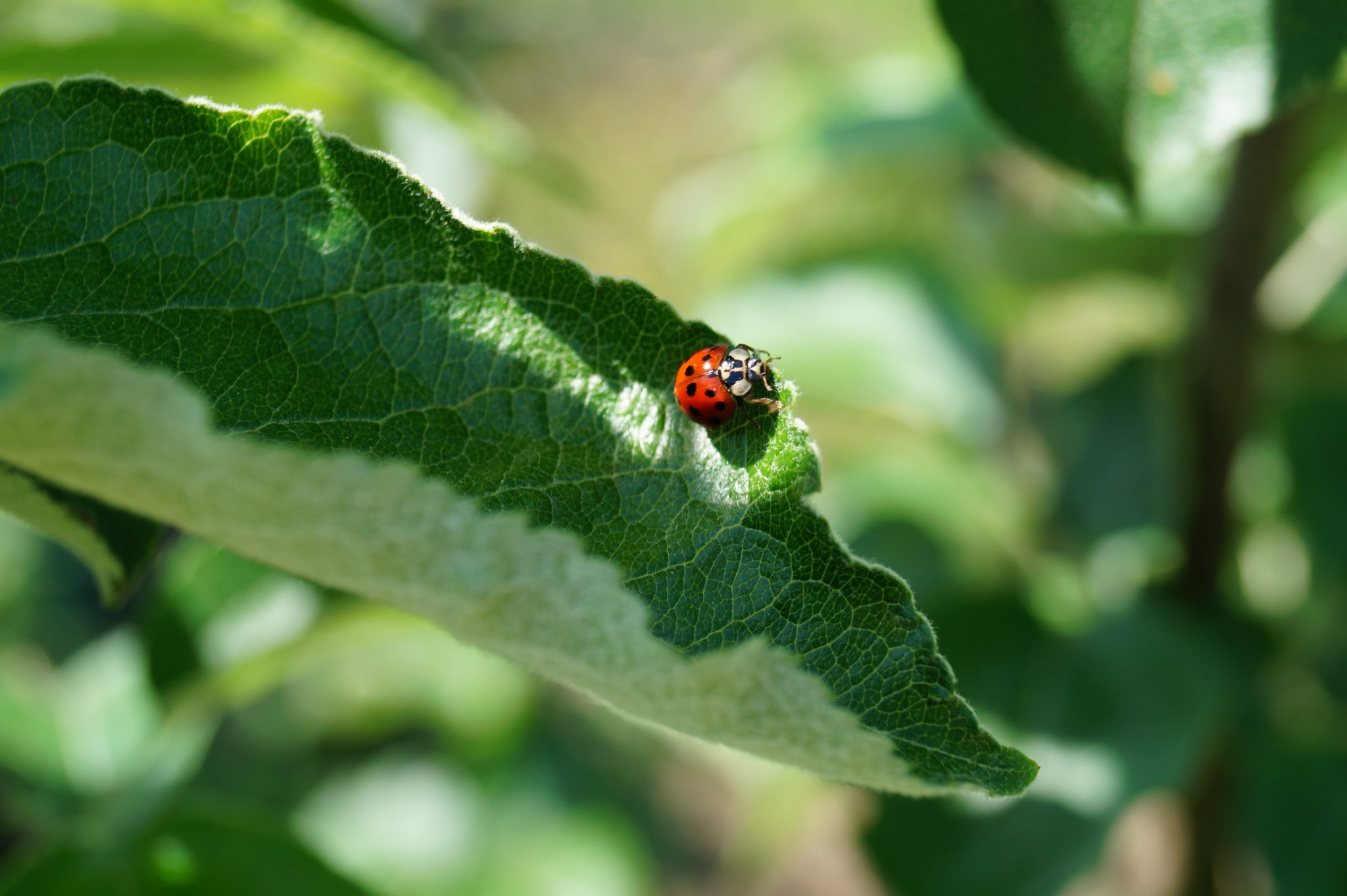 Single red lady bug on green leaf.