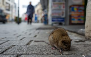 A rat sitting in the street.