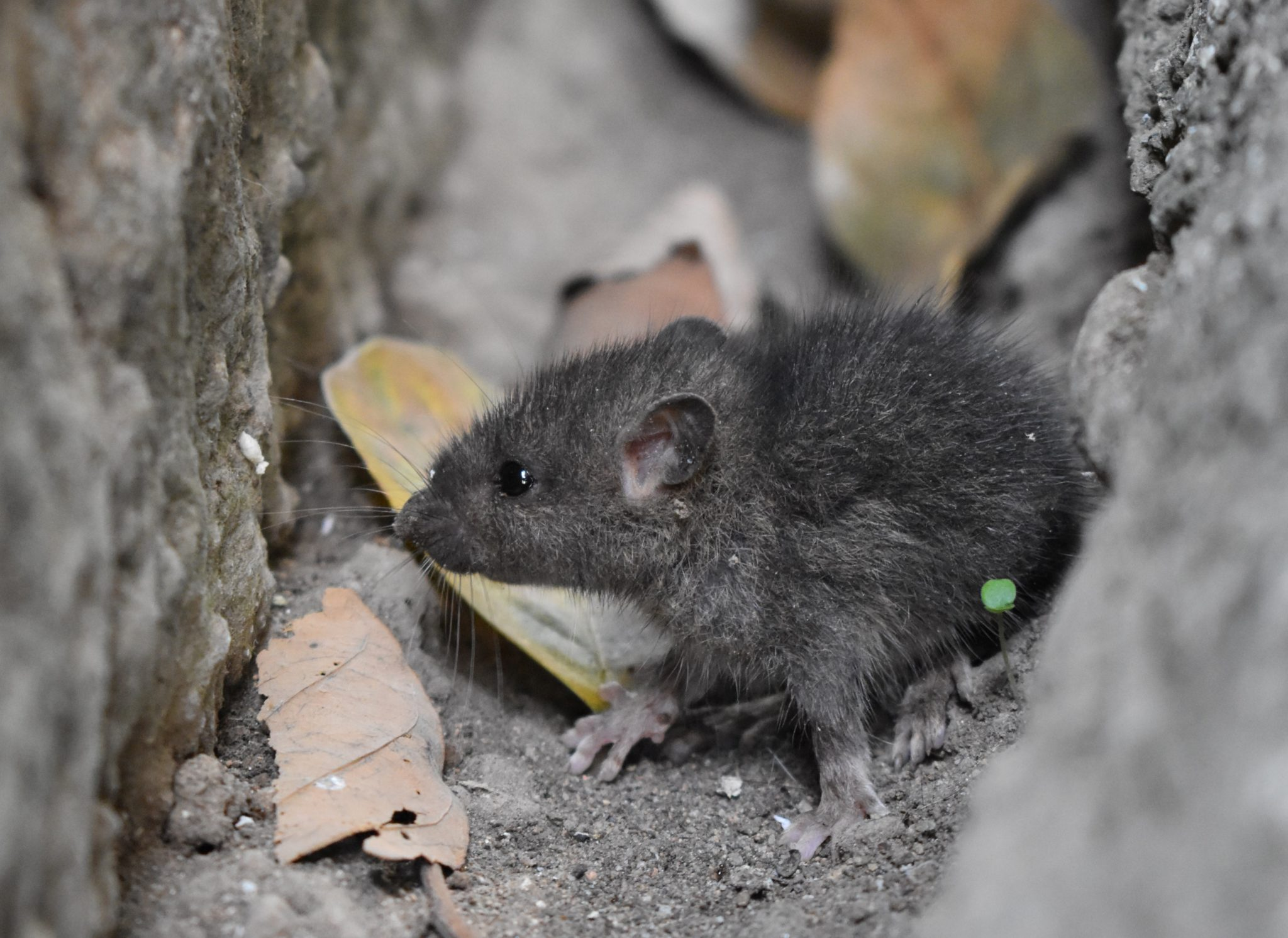 Gray rat in a small space.