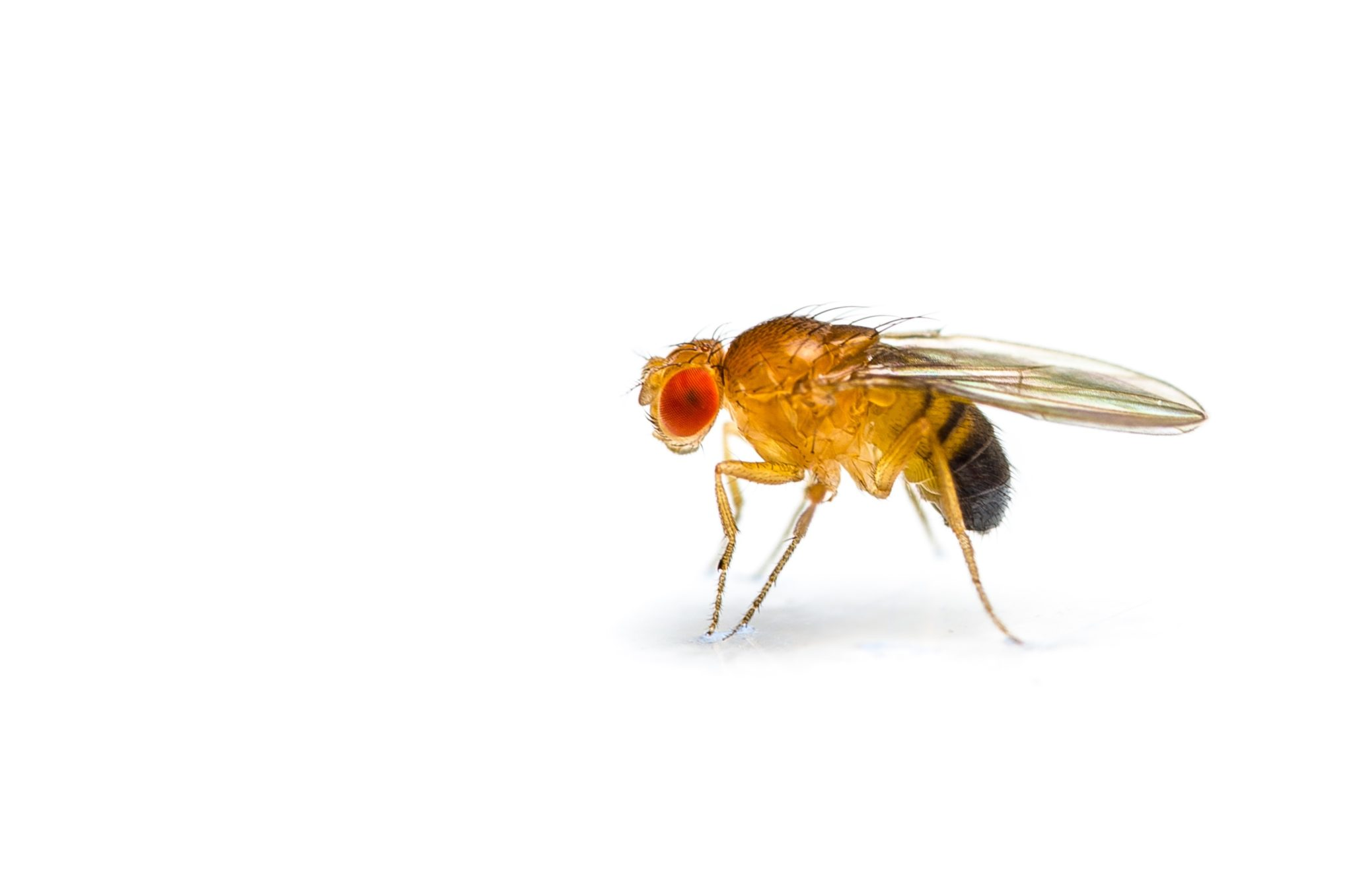 Small fruit fly against white background.