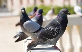 Pigeons-Birds-Park