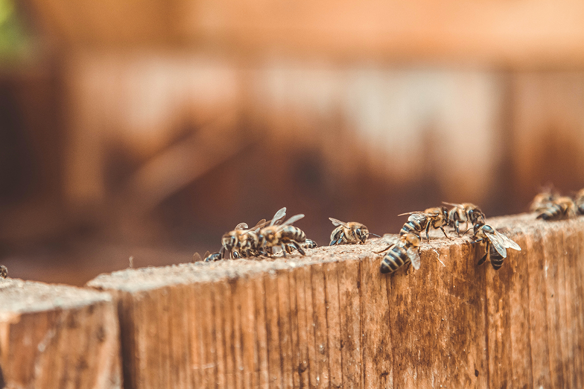 multiple wasps on a wood fence