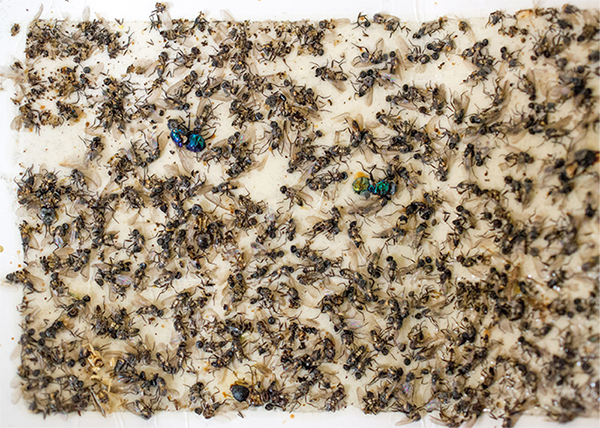 white glue board with numerous bugs